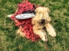wheaten-fun-day-pic146