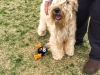 wheaten-fun-day-pic149