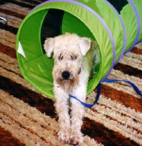 Maddie, a Wheaten Rescue Success Story, photo 1