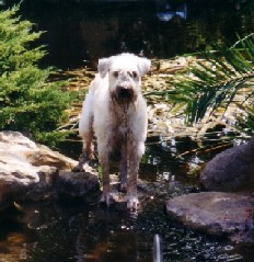 Maddie, a Wheaten Rescue Success Story, photo 2