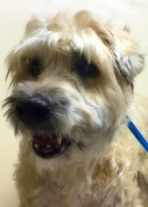 Betty, a terrier needing a new home - close up photo