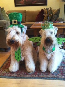 Wheatens of the Month Sophie and Winston in St. Patrick's Day finery