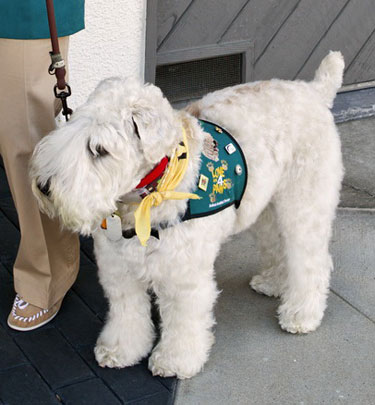 Super Senior Wheaten dog Max, in a vest