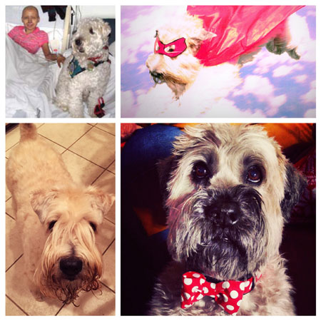 Celebrating Senior Wheatens: Max, Cooper, Jack and Toney