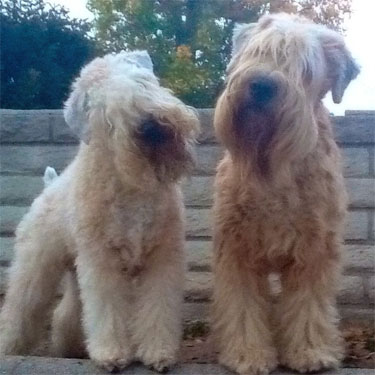Wheaten of the Month: Sophie & Winston
