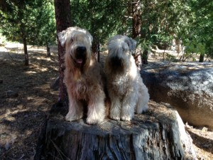 Wheatens of the Month Sophie and Winston in Big Bear