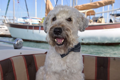 Super Senior Wheaten dog Ajax
