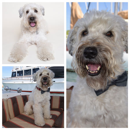 Celebrating Senior Wheatens: Ajax