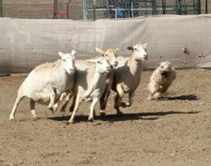 Magoo herding day 1