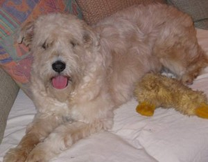 Abby, a Wheaten Rescue Success Story