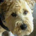 Celebrated Wheaten Travel Reporter and rescue success story An appreciation of Darby, who took Times readers along on dog-friendly adventures around California If all dogs go to heaven, resident angels […]