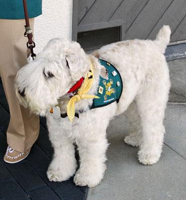 Super Senior Wheaten dog Max, in a vest